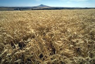 ドイツの大麦畑